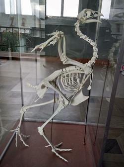 Chicken Skeleton - (pullus)
