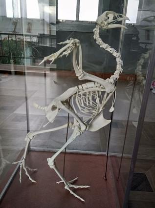 Chicken Skeleton (pullus)