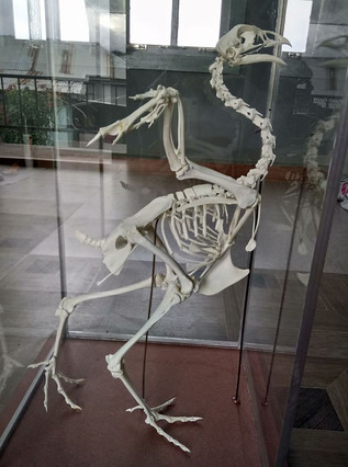 Chicken Skeleton (pullus)