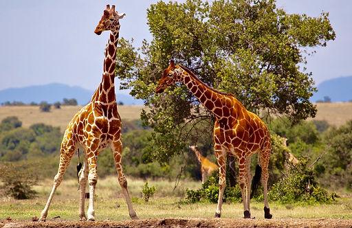 giraffe-163036.jpg