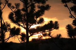 Sunset and pondarosa pine