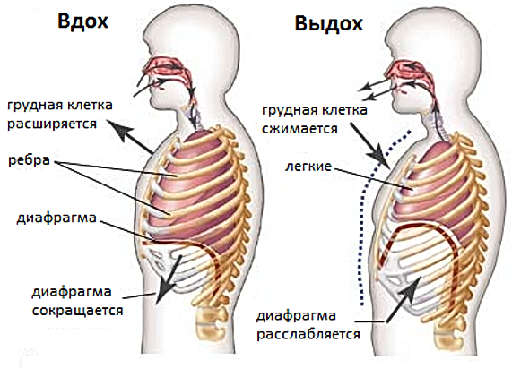 diaphragm.png