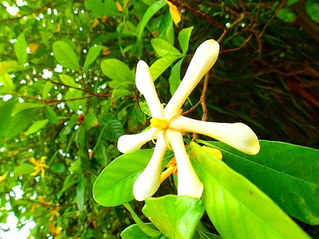 西表島の植物 クチナシの花