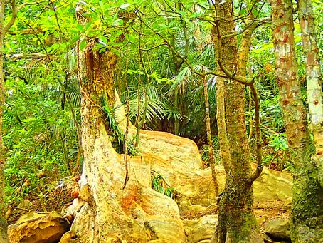 サキシマスオウノキ・西表島の植物