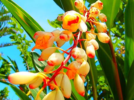 月桃(ゲットウ)・西表島の植物