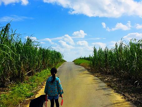 サトウキビ畑をお散歩〜🐕