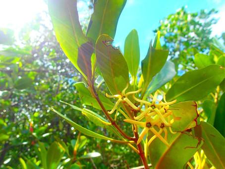 メヒルギ・西表島マングローブの植物