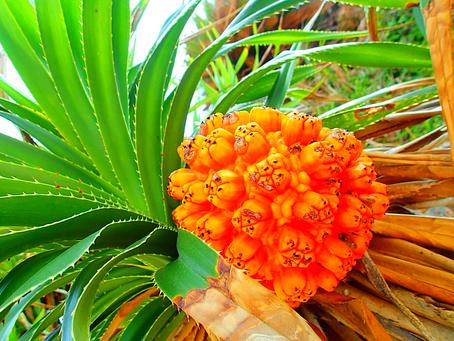 アダン・西表島の植物