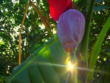 島バナナの花〜🍌西表島ライフ〜