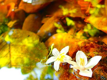 西表島・オオバエゴノキの花