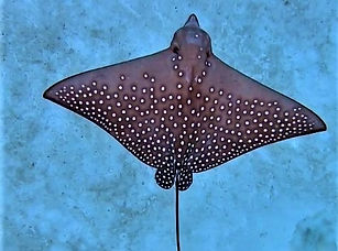 eagle ray_shifzan.jpg