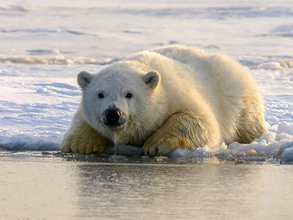Unintended Consequences: Polar Bears Discarding GPS Collars Help Researchers Track Ice Drift Instead