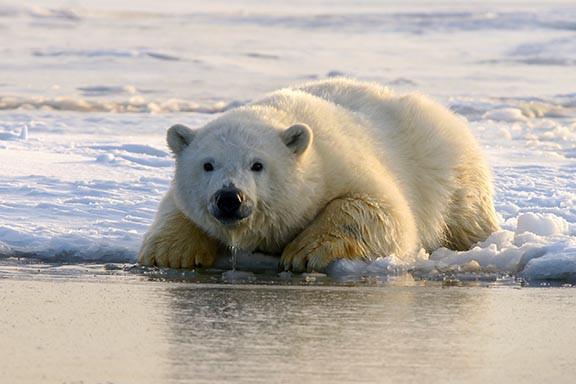 Polar bear lying on an ice floe
