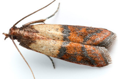 Picture of the indian meal moth - a tree nut storage pest.