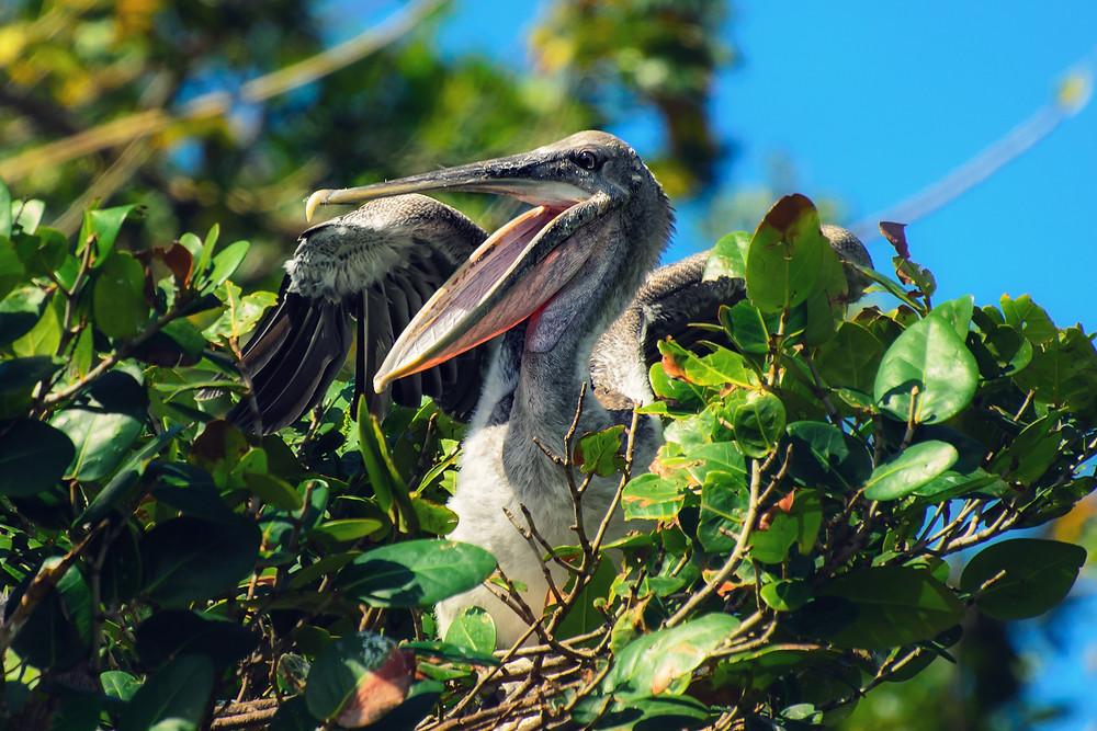 Pelicano encontrado no Parque Nacional Los Haitises
