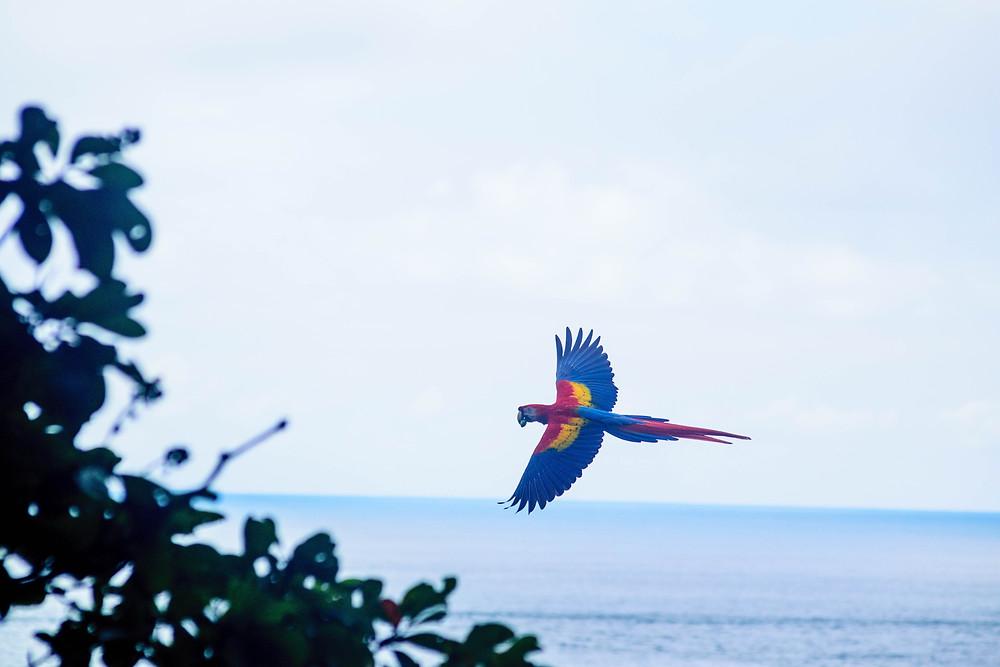Uma arara sobrevoando o céu da Costa Rica