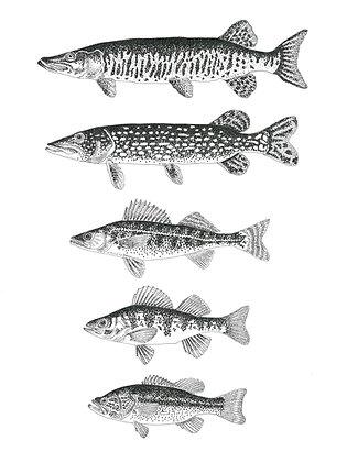 Freshwater Fish 12 x 16