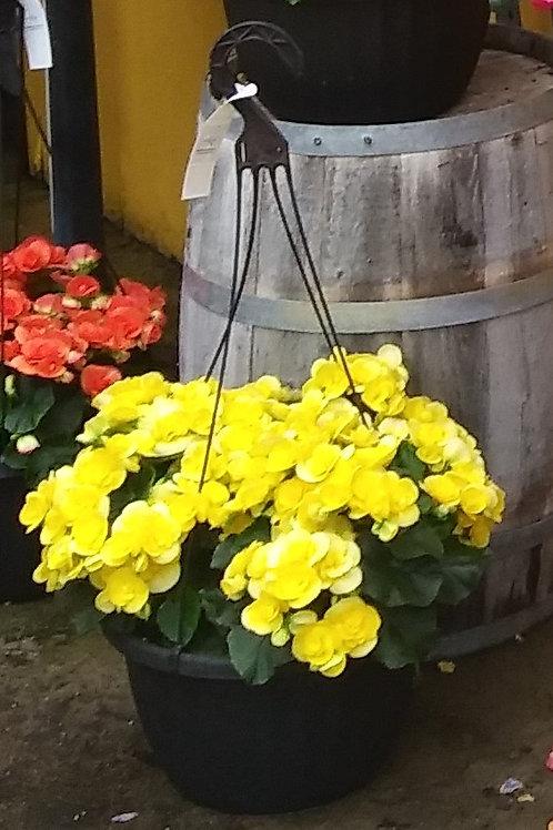 Begonia – Amstel Begonia Hanging Basket