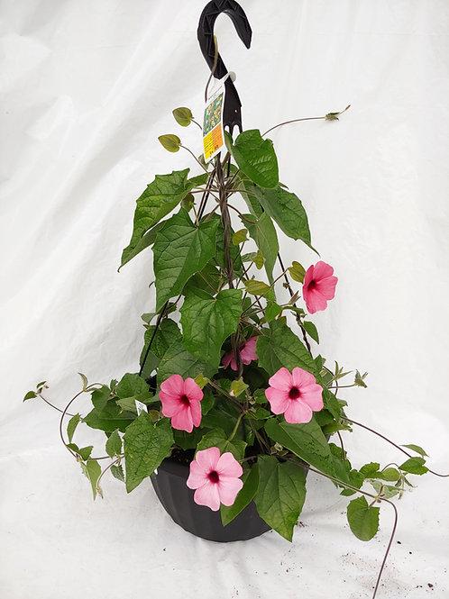 Black Eyed Susan (Thunbergia) Hanging Basket