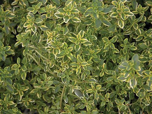 Herb - Thyme: Lemon Variegated