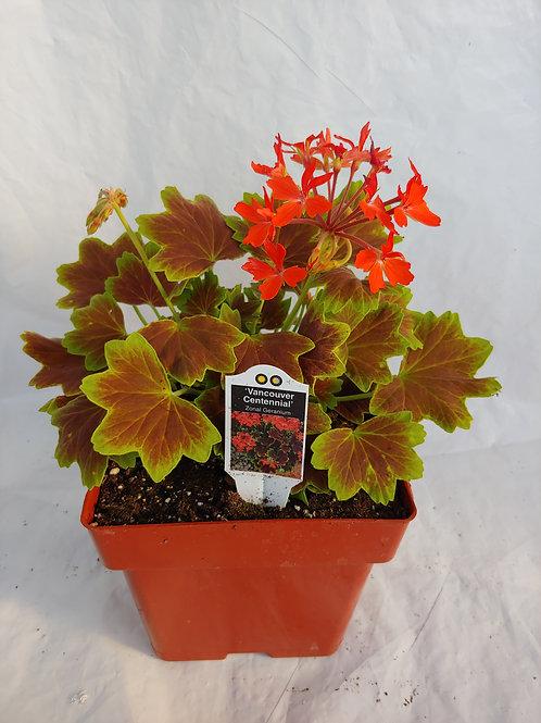 Geranium Brocade Vancouver Centennial