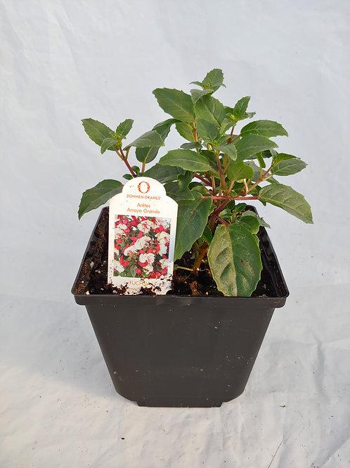 "Fuchsia: Compact ""Arroyo Grande"""
