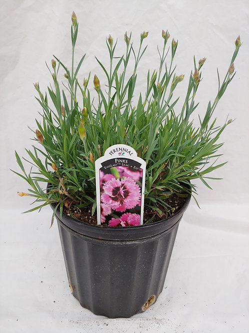 "Dianthus - ""Everlast Lilac Eye"""