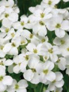 "Arabis (Rock Cress) - ""Snowfix"""