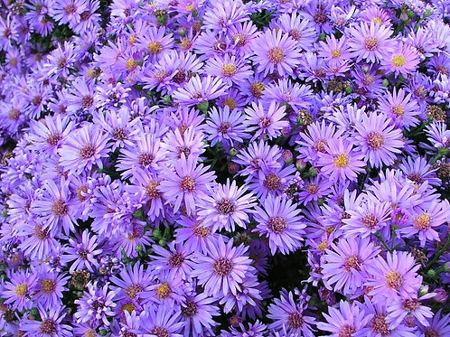 "Aster - ""Woods Purple"""