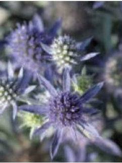 "Eryngium (Sea Holly) - ""Blue Hobbit"""