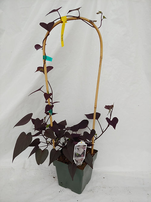 Potato Vine: Solar Tower Black (Climbing)