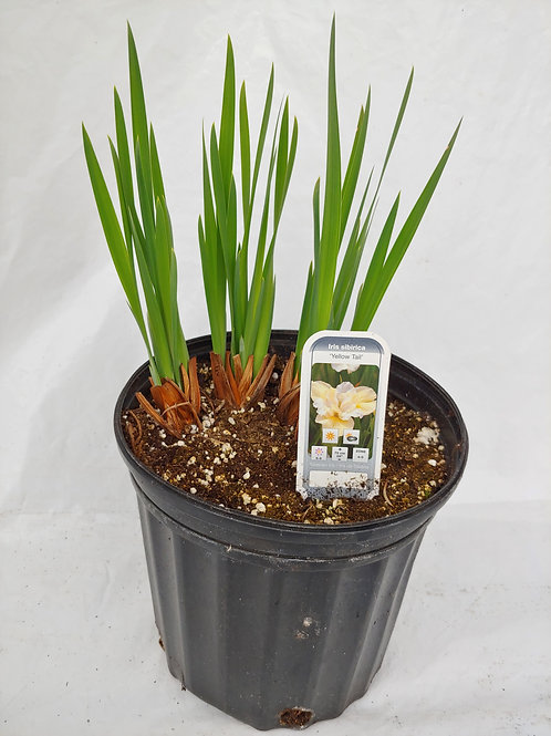 Iris siberica (Siberian Iris)