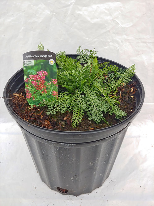 "Achillea (Yarrow) ""New Vintage Red"""