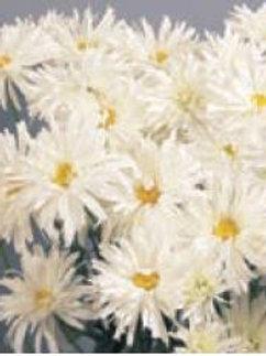 "Leucanthemum (Shasta Daisy) - ""Crazy Daisy"""