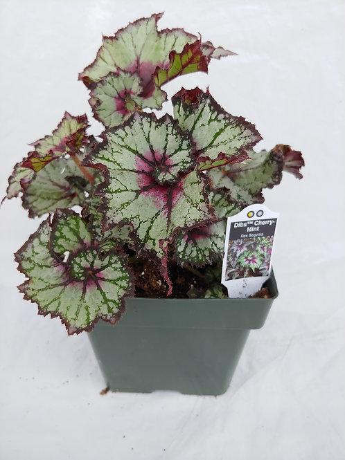 Begonia: Rex Begonia