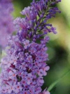 """Buddleia (Butterfly Bush) - """"Mariposa Blue"""""""