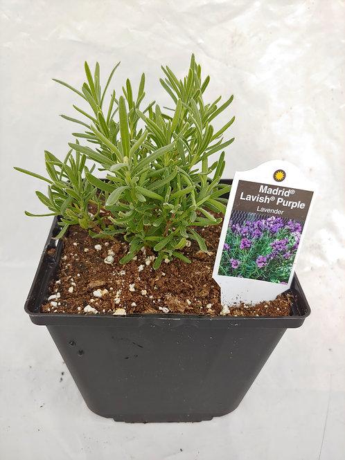 Herb - Lavender: Madrid Lavish Purple
