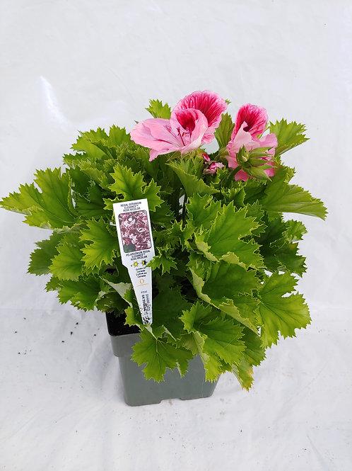 Regal Geranium (Martha Washington Geranium)