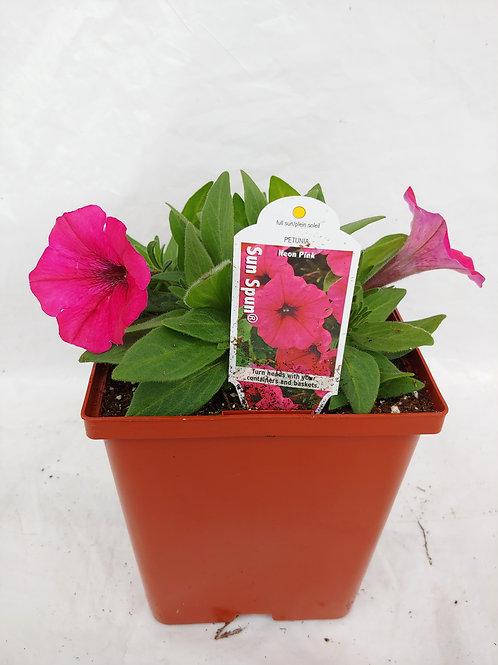 Petunia: Mounding Compact Petunias