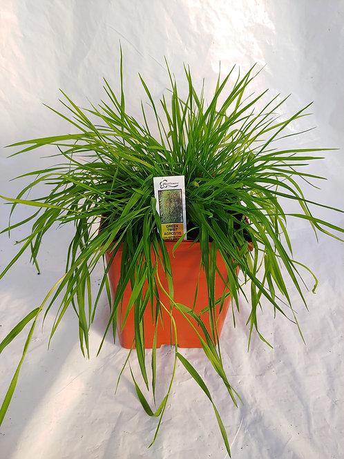 Grass: Bamboo grass (agrostis)