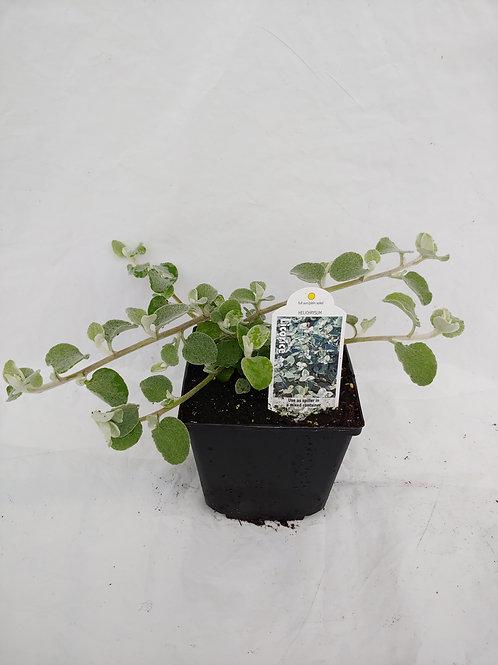 Helichrysum Licorice White