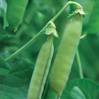 "Seeds: Peas - ""Sugar Ann"" (Bush Pea)"