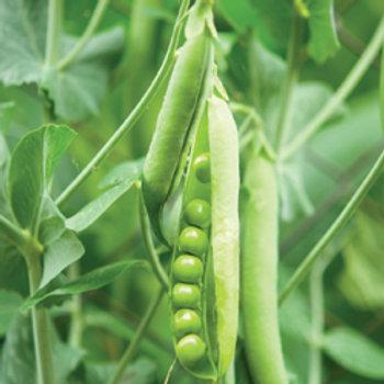 """Seeds: Peas - """"Sugar Snap"""" (Pole Pea)"""