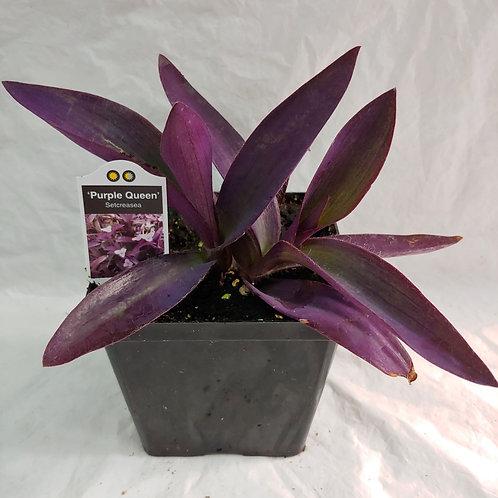 Setcreasea - Purple Queen