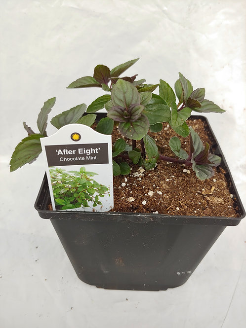 Herb - Mint: After Eight (Chocolate Mint)