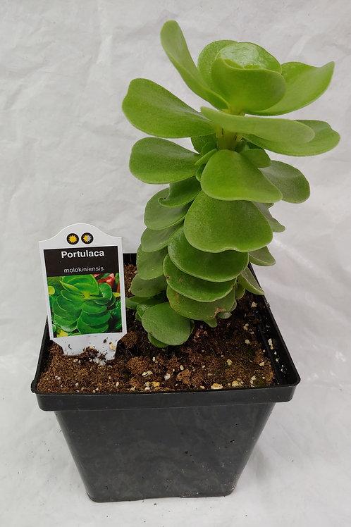 Portulaca - Molokinensis