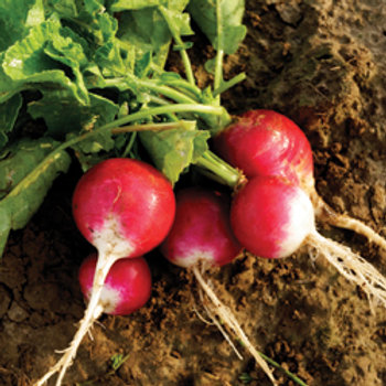 "Seeds: Radish - ""Early Sparkler White Tip"""
