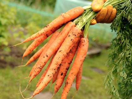 "Seeds: Carrots - ""Imperator Long"""