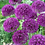 "Thumbnail: Allium (Ornamental Onion) - ""Purple Sensation"""