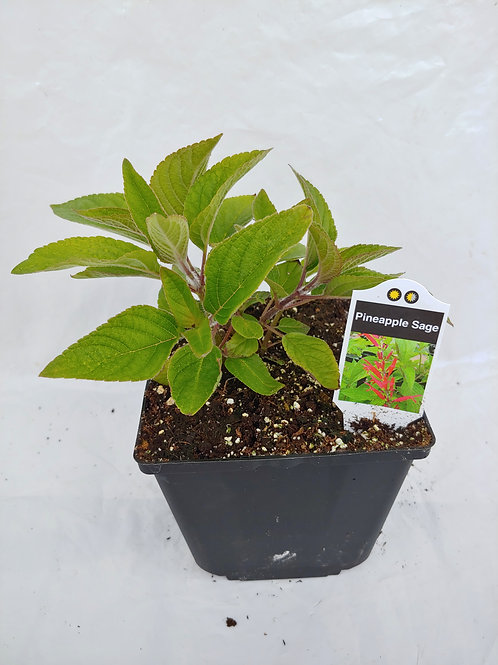 Herb - Sage: Pineapple Sage